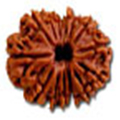 Chaudah Mukhi/ Fourteen Faced Rudraksha - Lab Certified