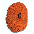 Ekis Mukhi/ 21 Faced Rudraksha - Lab Certified