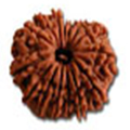 Pandrah Mukhi/ Fifteen Faced Rudraksha - Lab Certified