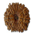Satraah Mukhi/ 17 Faced Rudraksha - Lab Certified