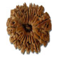 Unis Mukhi / 19 Faced Rudraksha - Lab Certified